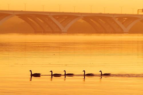 nature water birds sunrise geese nps silhouettes dcist nationalparkservice potomacriver canadagoose brantacanadensis alexandriavirginia fairfaxcounty woodrowwilsonbridge georgewashingtonmemorialparkway bellehavenmarina