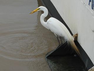 صورة Barco Cisne Branco. bird branco brasil do barco mergulho pássaro feira porto peixe livro alegre poa cisne voo cais