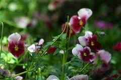 pansy, annual plant, flower, plant, macro photography, wildflower, flora, petal,