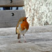 Robin by AJC2911