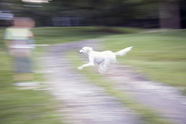 _MG_4569.jpg - A Pure Bred Saluki Dog Moving Quick as the ...