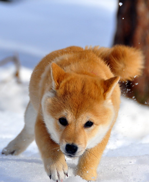 A Shiba Puppy In The Snow Flickr Photo Sharing
