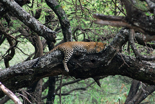 Manyara Leopard