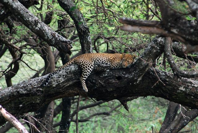 Leopardo en el Parque nacional del Lago Manyara, Tanzania