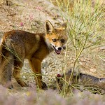 Red Fox cub with prey - Estremadura Spain_3315-44