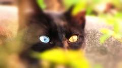 Gato Japonês