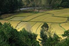 Yunnan 2008 - Rice