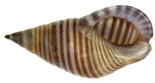 Planaxis lineatus DaCosta, 1778