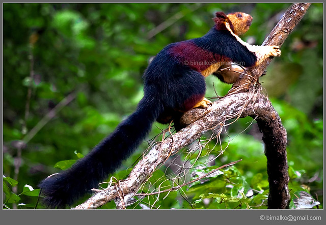 Malabar Giant Squirrel | Flickr - Photo Sharing!