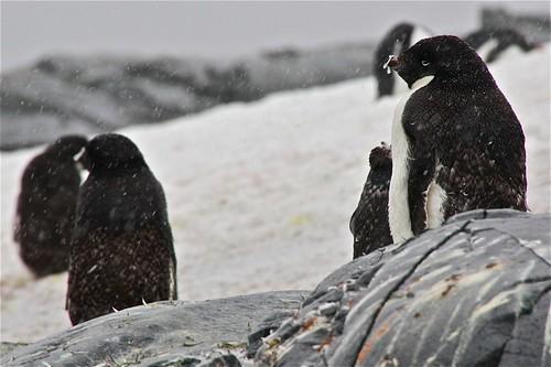 Adelie penguins - manchots Adélie by chogori20