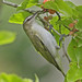 Red-eyed Vireo - Photo (c) Jerry Oldenettel, some rights reserved (CC BY-NC-SA)