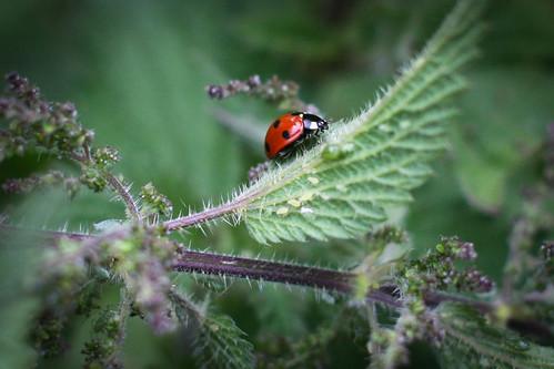 Brave little ladybug