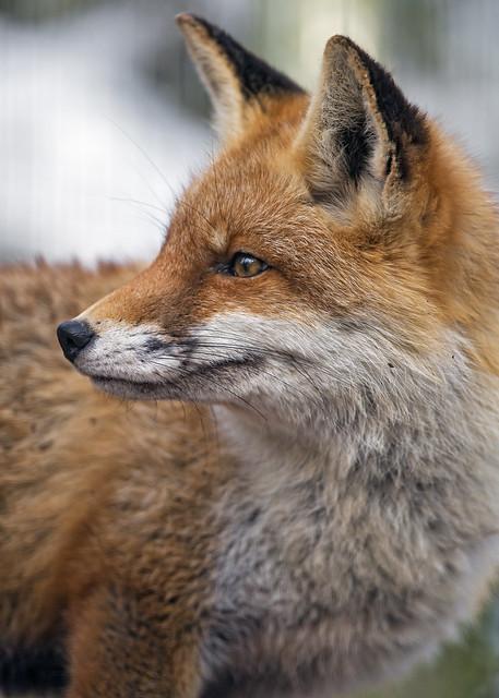 Profile of a fox