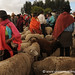 Sheep Trading - Saquisili, Ecuador