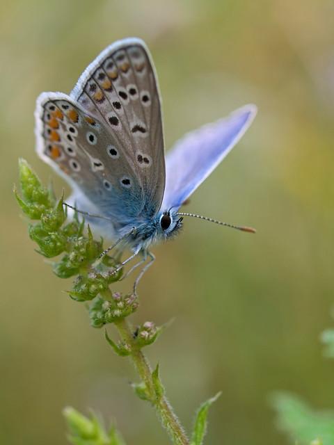 Azuré commun (Polyommatus icarus) Common Blue