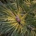 Small photo of Japanese Black Pine Cultivar