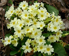 Primrose - Photo (c) James Gaither, some rights reserved (CC BY-NC-ND)