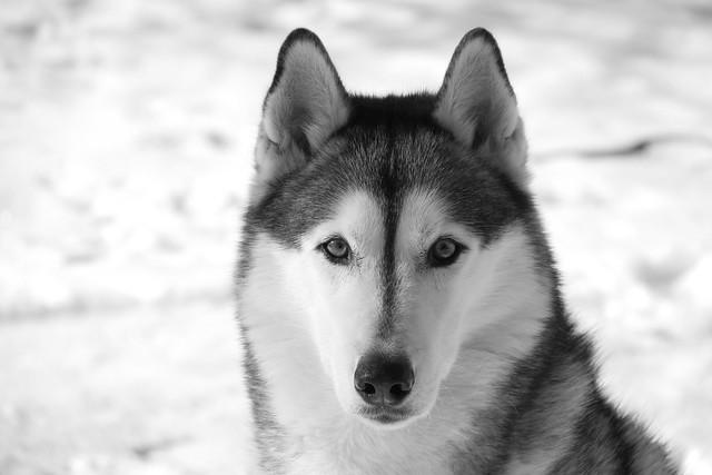 Siberian stare