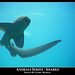 Requins / Sharks