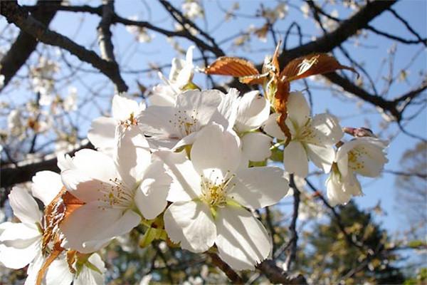 Prunus serrulata 'Taki-Nioi'