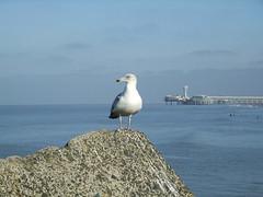 Scheveningen seagull