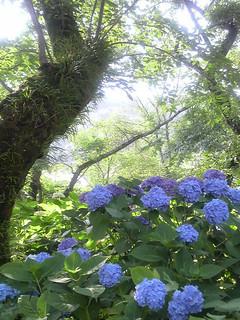 紫陽花・矢田寺 -Hydrangea / Yata_temple