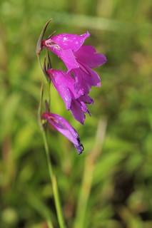 Gladiolus palustris (48°09-12' N ...