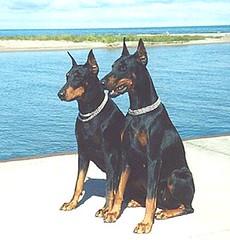 toy manchester terrier(0.0), dog breed(1.0), animal(1.0), australian kelpie(1.0), dog(1.0), german pinscher(1.0), manchester terrier(1.0), dobermann(1.0), pet(1.0), mammal(1.0), guard dog(1.0), pinscher(1.0),