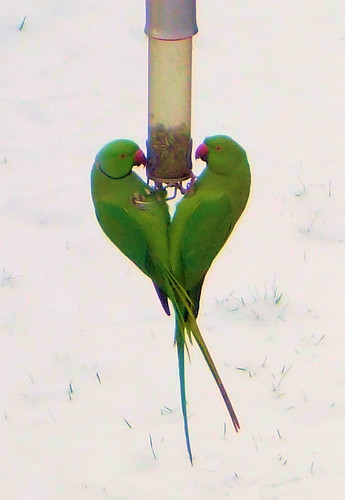 Male and Female Ring-Necked Parakeets Enjoying A Meal.