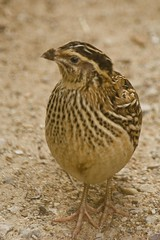 animal, quail, fauna, close-up, beak, bird, lark, wildlife,