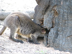Alice - Wallaby