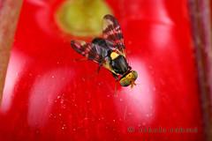 Cherry fruit fly - male (set)