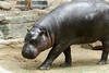 Pygmy Hippo Walking Across by Eric Kilby