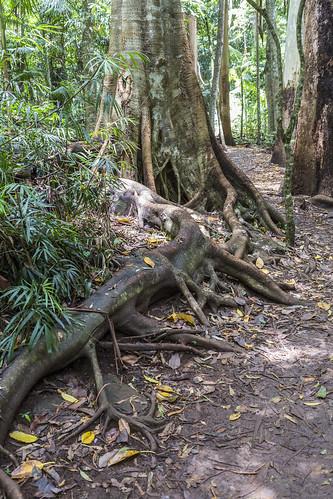 curtis falls mount tamborine forest tall trees waterfalls walking tracks wildlife landscape native australian