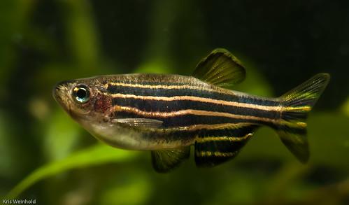 Zebra danio oldie but goodie guitarfish for Danio fish care