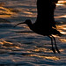 Long-billed Curlew (Numenius americanus,) creates a silhouette while flying past another killer sunset