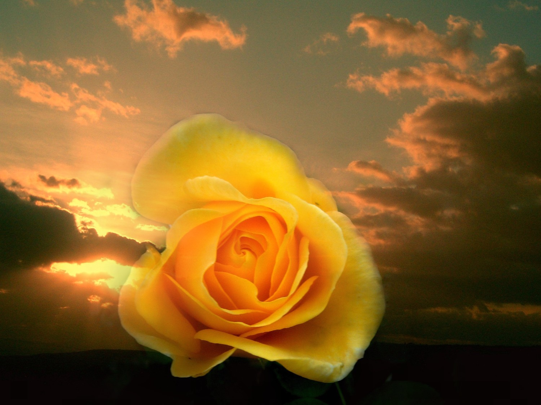 Otoño XXVI: Rosa amarilla, dedicada a mi amiga Isabel