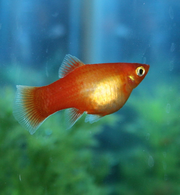 Picture Of Pregnant Platy 20