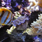 Butterflyfish vs mollusk