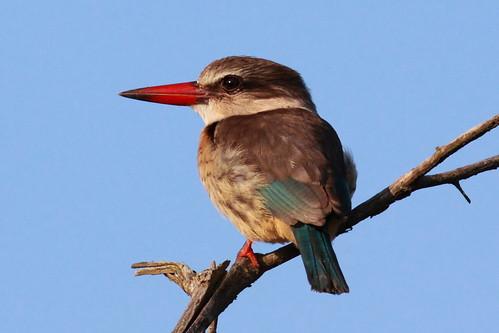 Brown-hooded Kingfisher (Halcyon albiventris) Bruinkopvisvanger