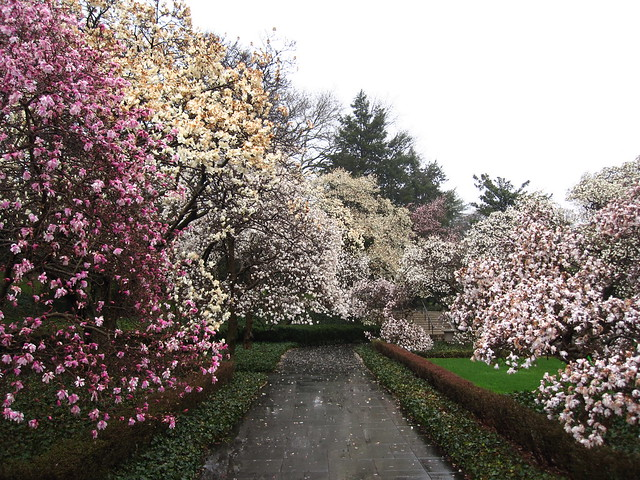 Magnolia Plaza looks vivid and lush thanks to near record rainfall in Brooklyn this March. Photo by Rebecca Bullene.