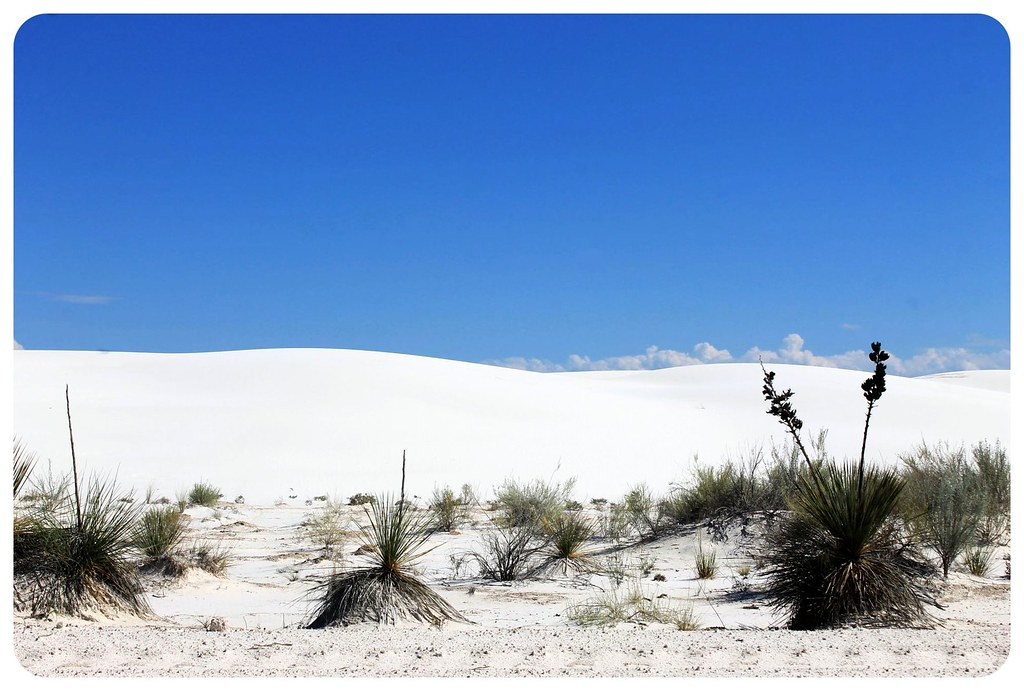 White Sands New Mexico flowers