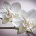 Orchids - Dogwood 2017 Week 8 One shot by kaths piccies