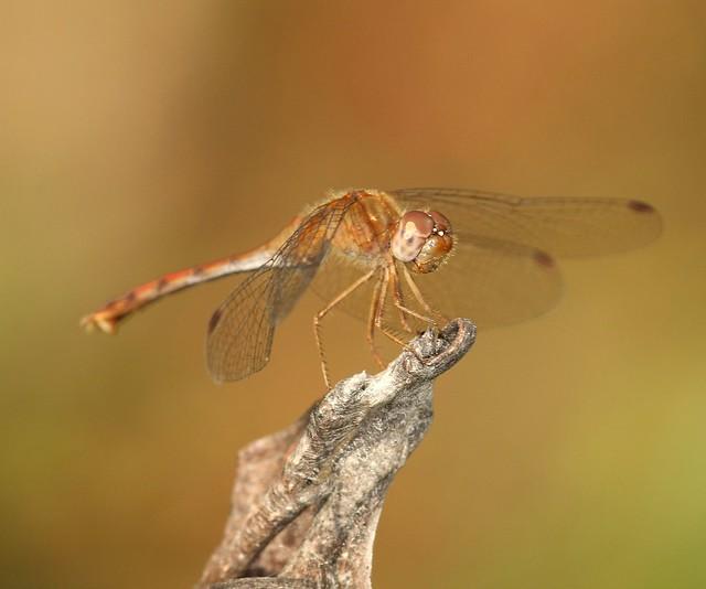Photo:Autumn Meadowhawk, female By DrPhotoMoto