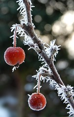 frosted crabapples