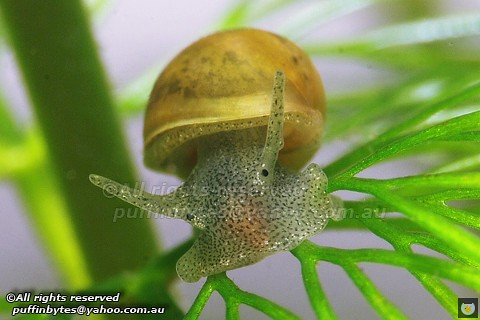 Common pond snail radix peregra flickr photo sharing for Garden pond snails