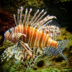 wildlife(0.0), animal(1.0), fish(1.0), coral reef fish(1.0), marine biology(1.0), macro photography(1.0), fauna(1.0), freshwater aquarium(1.0), close-up(1.0), lionfish(1.0), scorpionfish(1.0), underwater(1.0), reef(1.0), aquarium(1.0),