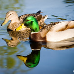 mallard ducks feel in love!!