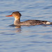 Merganso-de-poupa / Red-breasted merganser