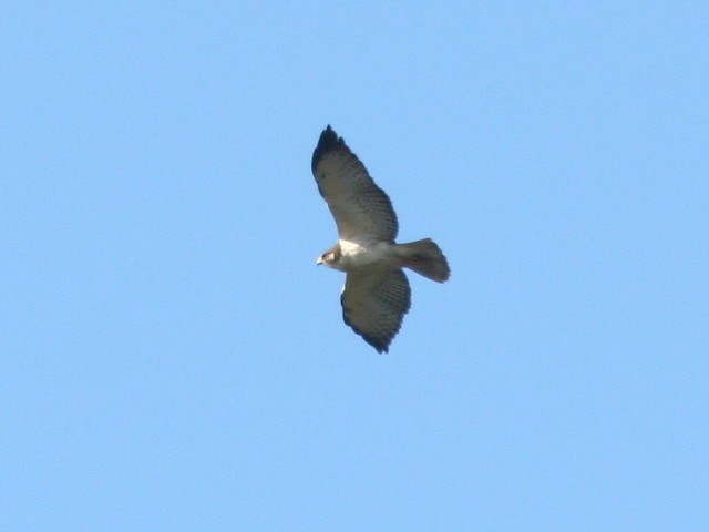 Short-tailed Hawk, Light Morph SOOC Cropped 20091008